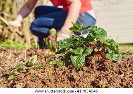 Strawberry plant in the foreground and woman weeding garden beds in the background