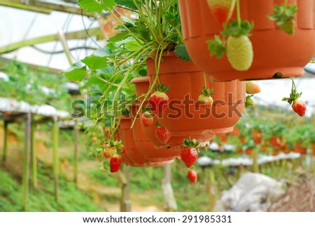 strawberry plant in the pot and hanging in line. out of focus style and some noise applied - stock photo