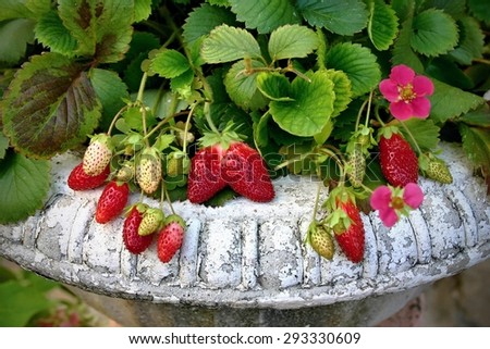 Strawberry plant in the vintage pot - stock photo