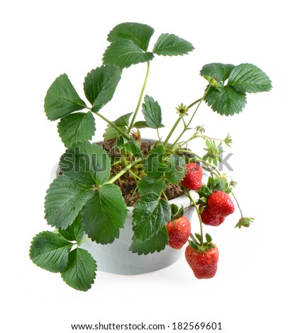 strawberry plant pot isolated on white background - stock photo
