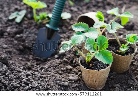 Strawberry Plants and Seedlings With Gardening Tools on Soil. Concept Gardening and Agriculture. Selective Focus.