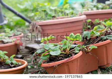 Strawberry plants in pots - stock photo