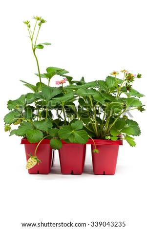 Strawberry plants. Strawberry sprouts in a pot on white background. Selective focus.