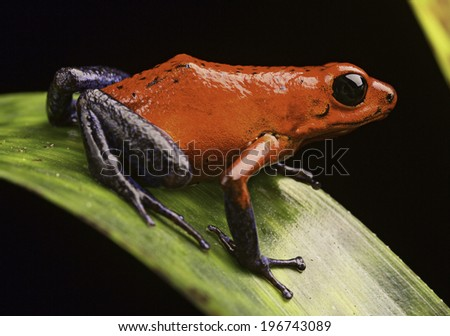 strawberry poison arrow frog Costa Rica tropical rain forest a macro of a beautiful exotic amphibian pet animal is kept in a rainforest terrarium or vivarium, Dendrobates pumilio Guapiles (blue jeans) - stock photo