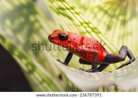 strawberry poison arrow frog, red blue jeans morph from Costa Rica tropical rain forest - stock photo