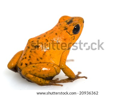 Strawberry poison dart frog (Dendrobates pumilio) on white background. - stock photo