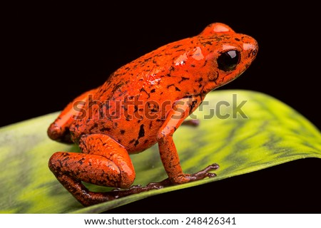 strawberry poison dart frog from the tropical rain forest of Panama and Costa Rica - stock photo