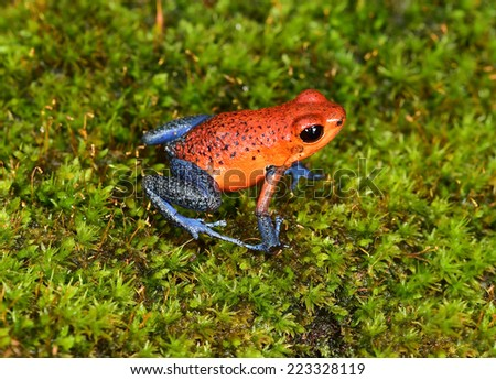 strawberry poison frog or strawberry poison-dart frog or Oophaga pumilio is species of poison dart frog found in Central America. blue jeans color morph is found specifically in costa rica and panama.