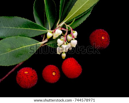 Strawberry tree flowers and fruit. Native to the Mediterranean region and western Europe north to western France and Ireland. Arbutus unedo.