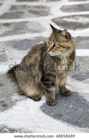 Stray cat outside cafe in Mykonos, Greece - stock photo