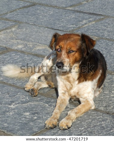 Stray Dog with Eye Infection / Blindness - stock photo