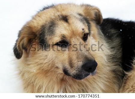 Stray dog with sad eyes on snow - stock photo