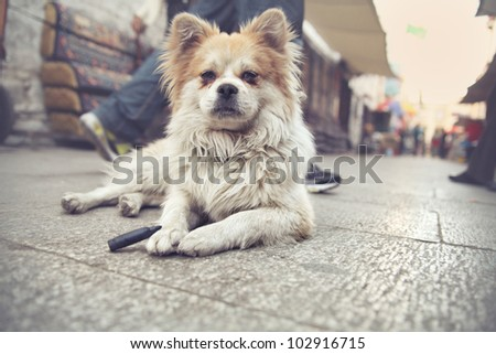 Stray fluffy dog lying on the street in Lhasa, capital of Tibet in China - stock photo