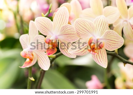 Streaked orchid flowers. Beautiful orchid flowers. - stock photo