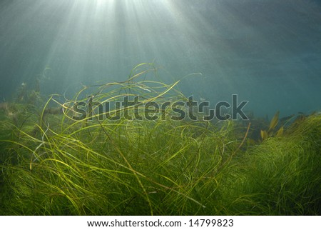 Streaks of sunlight pierce the surface of the ocean while grass and kelp wave in the currents - stock photo