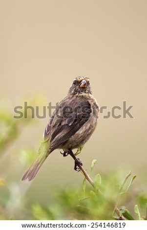 Streaky-headed Seedeater (Serinus gularis) sitting on a twig in the Amakhala Game Reserve, Eastern Cape, South Africa.