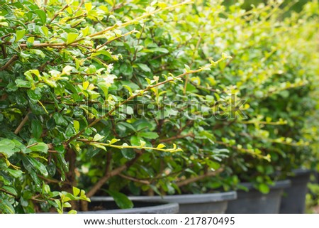 streblus asper tree as bonsai - stock photo