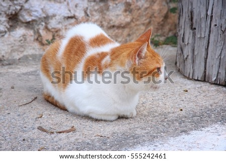 Street cat in Crete, Greece. Resting white-orange colored cat.
