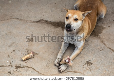street dog gnaw bone - stock photo