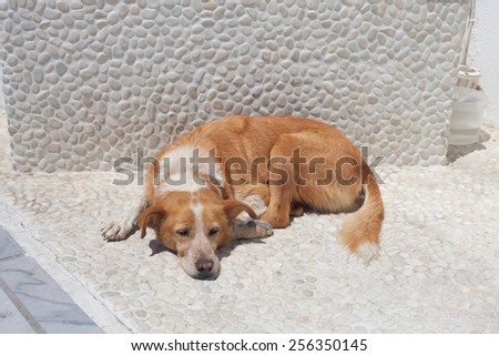 Street dog is having a rest on the street of Oia, Santorini , Greece. - stock photo
