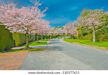 Street (pathway ) at the Cherry blossom time. Vancouver. Canada.