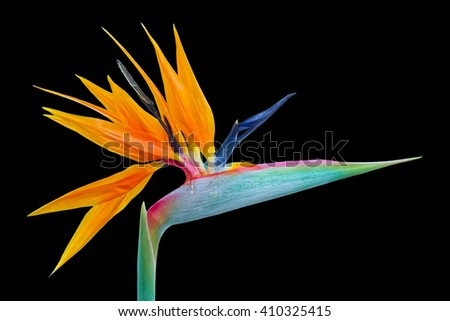 Strelitzia flower, also known as Bird of Paradise flower, fully opened with its sharp vivid petals, isolated on black background. - stock photo