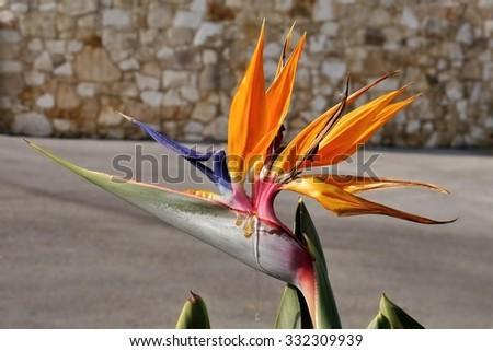 Strelitzia flower - Bird of paradise - stock photo