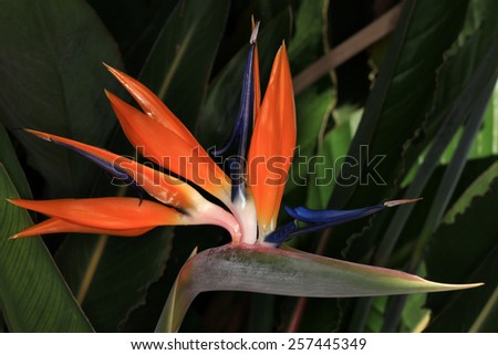 Strelitzia, indigenous flower of South Africa