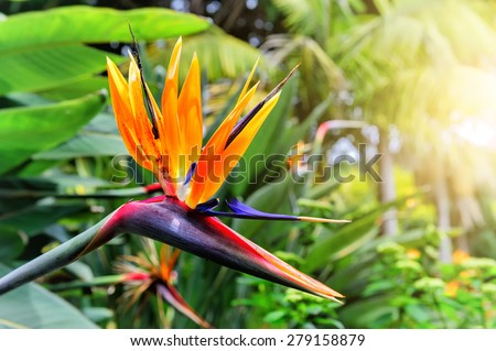 Strelitzia Reginae flower closeup (bird of paradise flower). Madeira island  - stock photo