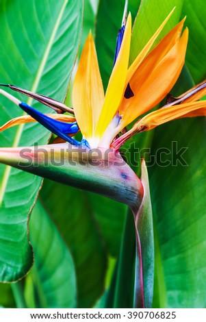 Strelitzia Reginae flower closeup (bird of paradise flower). shallow depth of field. Soft focus - stock photo