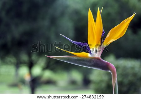 Strelitzia reginae is a monocotyledonous flowering plant indigenous to South Africa. Popular as ornamental low-maintenance plant around the world, growing well in any area that is sunny and warm. - stock photo