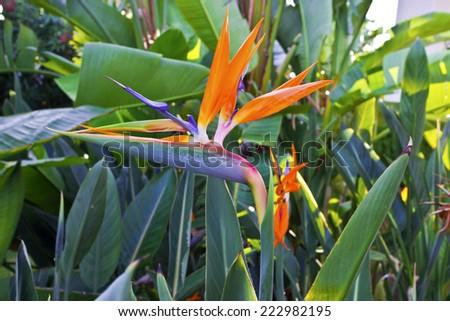 Strelizia bird of paradise flower in a garden. - stock photo