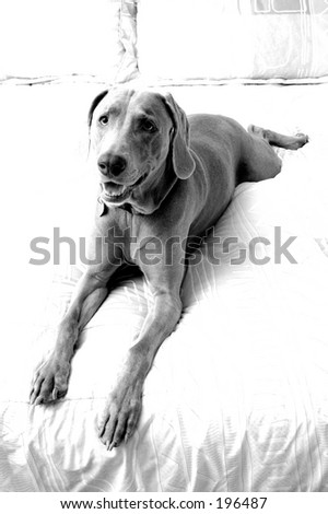 Stretched-out Weimaraner - stock photo