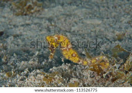 Stretched Yellow Seahorse - stock photo