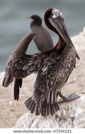 Stretching his wings to dry, this pelican rests on a rock by the sea