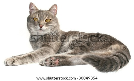 Striated cat on a white background.