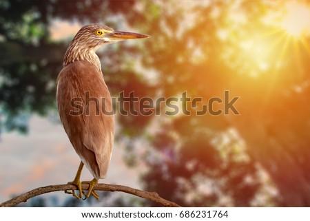 Striated Heron Butorides Striata in golden glows tropical forest jungle