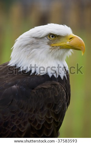 Strict looking Bald Eagle - stock photo