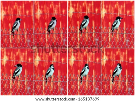 Striking collage presentation of a juvenile black and white  Australian magpie Cracticus tibicen perching  on a wire fence in front of a faded red painted  metal wall  on a fine afternoon in autumn. - stock photo