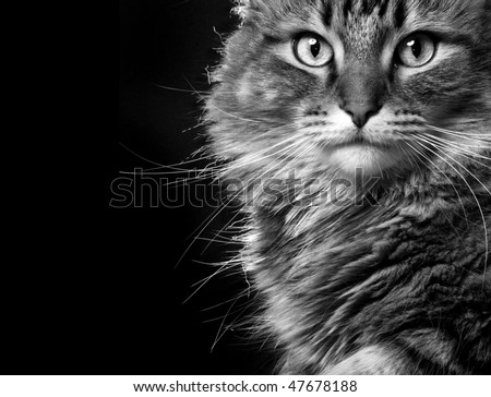 Striking maine coon cat face in black and white. - stock photo