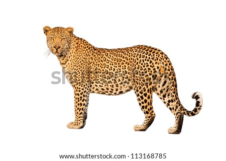 Striking pose of a big male leopard against a white background - stock photo