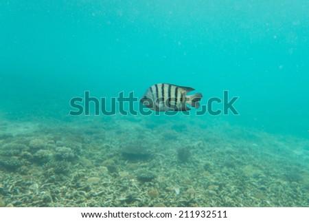 Stripe fish underwater - stock photo