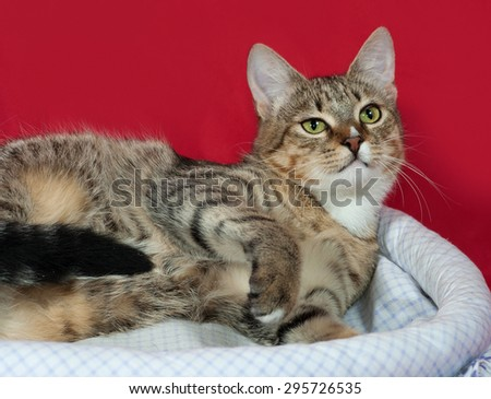 Striped and white cat sitting in couch on red background