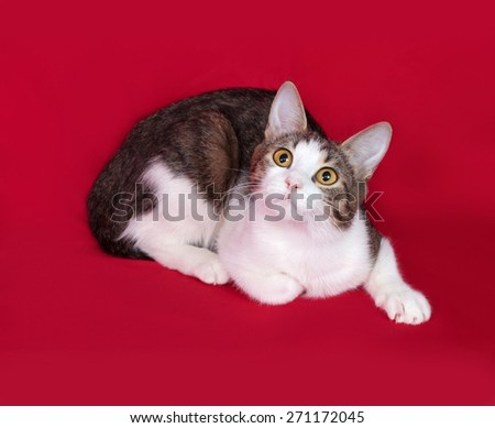 Striped and white cat teenager lies on red background