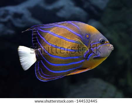 striped angelfish underwater - pomacanthus annularis - stock photo