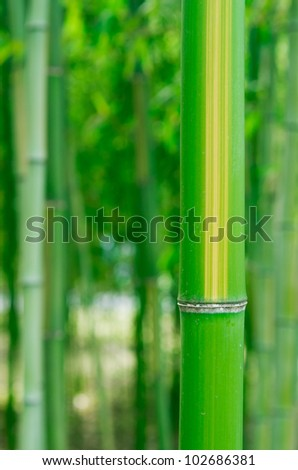 Striped Bamboo - stock photo