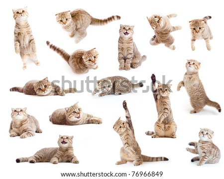 striped British cat and kitten isolated set - stock photo