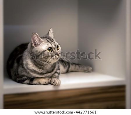 Striped British gray cat lying on the bookshelf. - stock photo