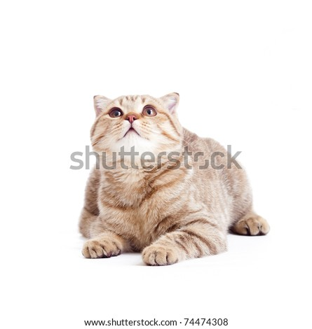 striped British kitten lying with opened mouth isolated - stock photo