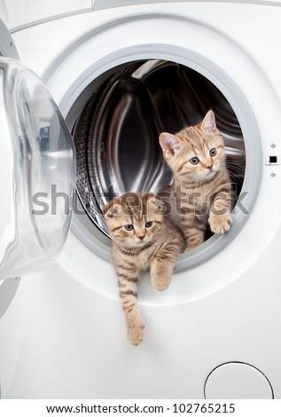 striped british kittens inside laundry washer - stock photo
